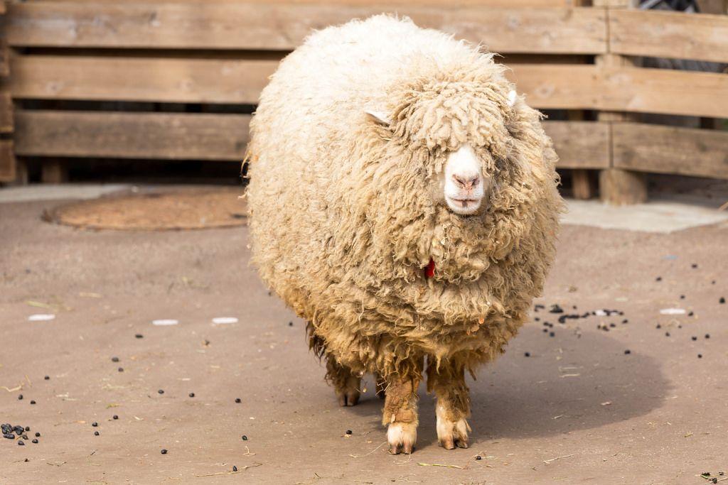 Schaf mit viel Wolle (Pulloverschwein)