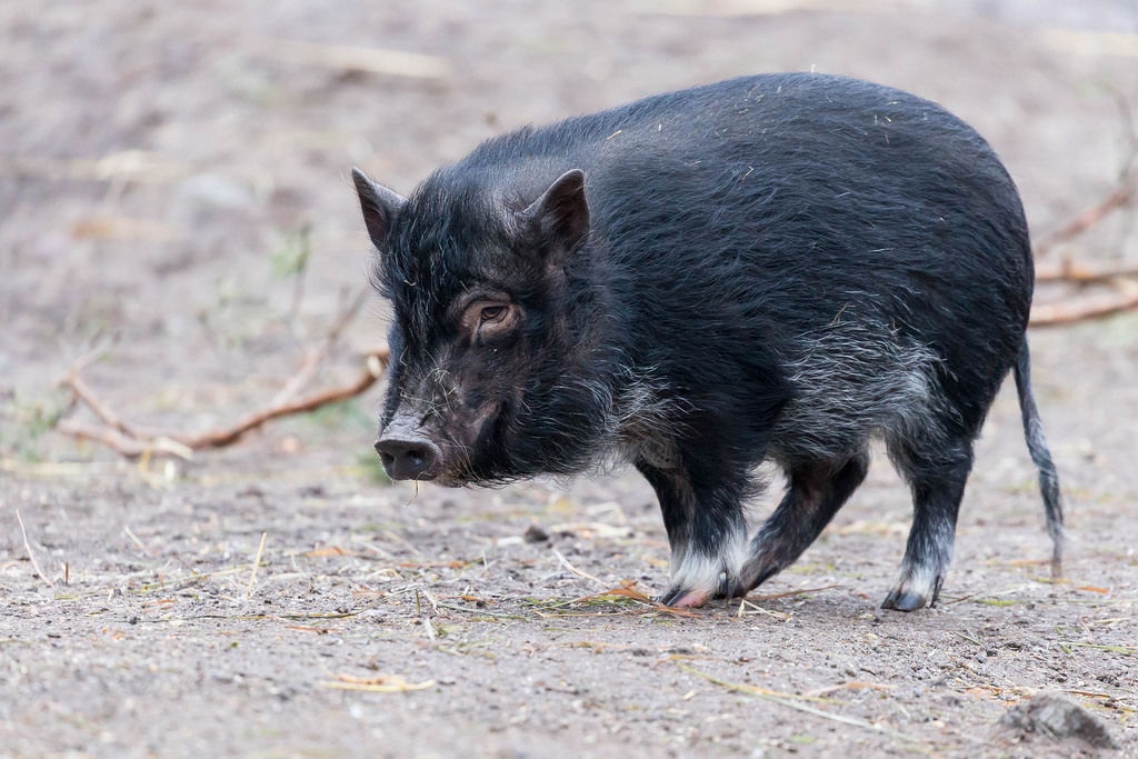 Scharzes Zwergschwein
