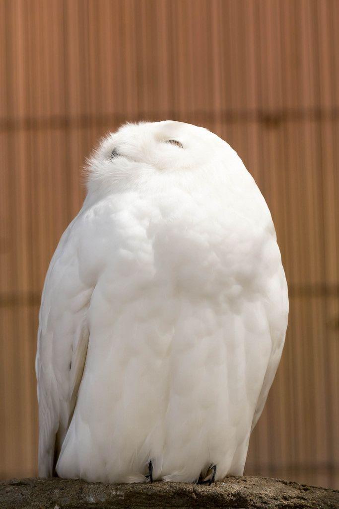 Schneeeule / Snowy Owl