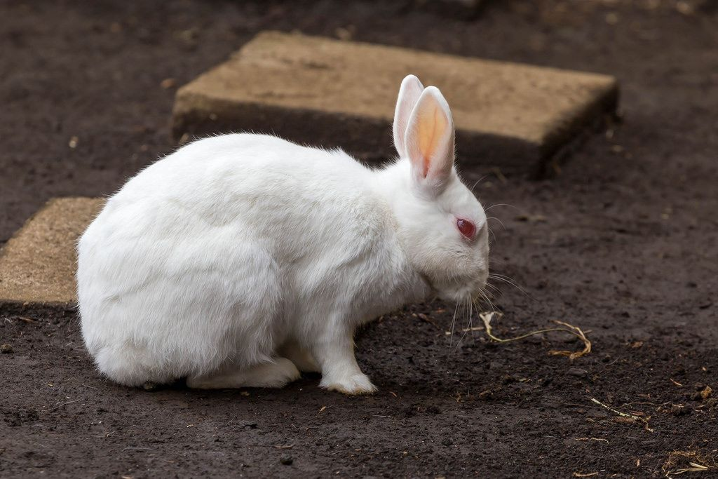 Schneehase / Snow Rabbit (zool: Mountain Hare)