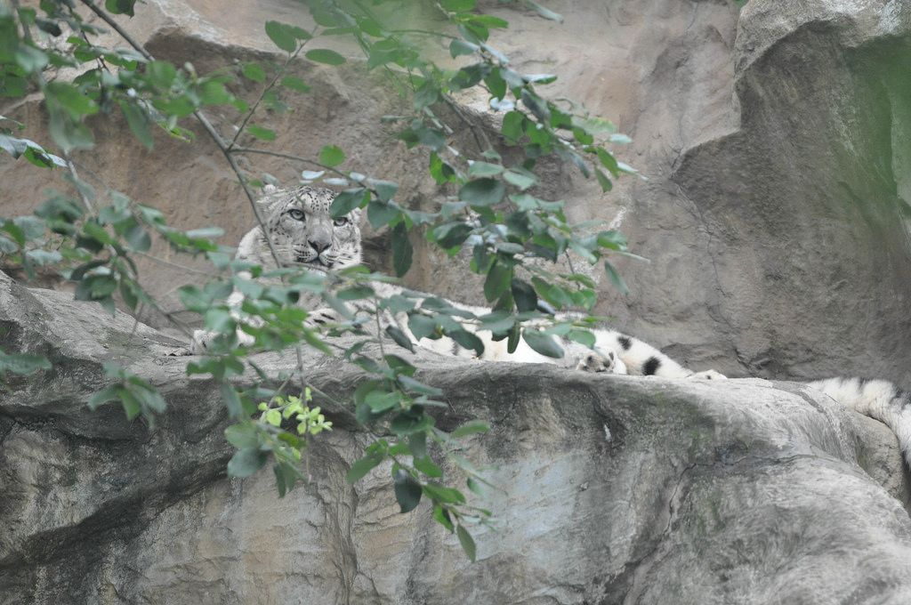 Schneeleopard beim Entspannen im Kölner Zoo