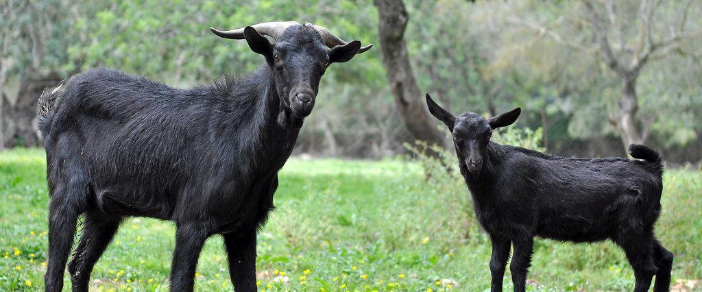 Schwarze Ziegen auf einem Bauernhof