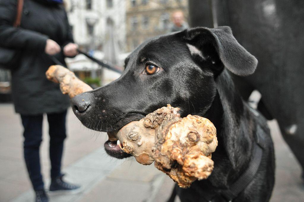 Schwarzer Labrador beim Gassigehen mit einem Stück Holz im Mund