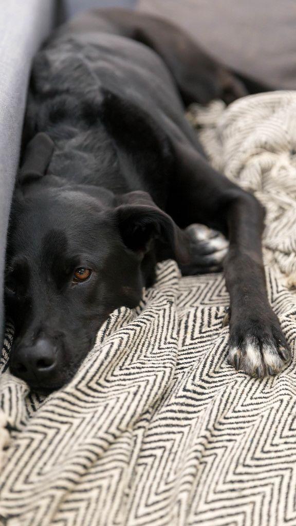 Schwarzer Labrador faulenzt auf der Couch