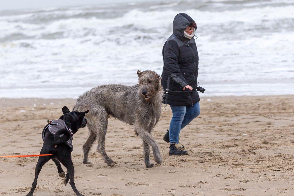 Schwarzer Labrador und ein größerer Hund am Strand