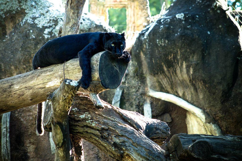 Schwarzer Panther im Zoo