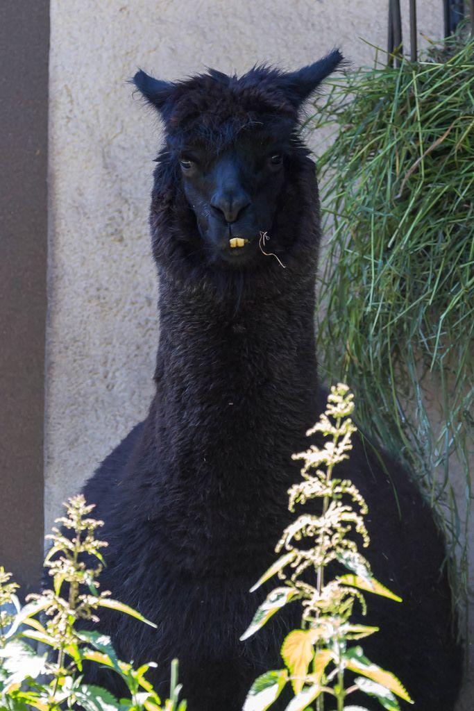 Schwarzes Alpaka im Moskauer Zoo