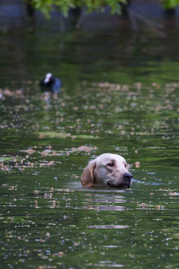 Schwimmender Hund: Golden Retriever