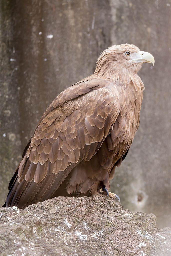 Seeadler / Sea Eagle