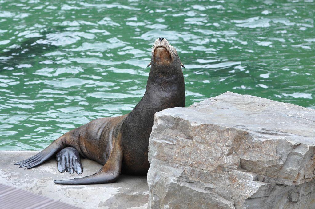 Seelöwe beim Faulenzen im Kölner Zoo