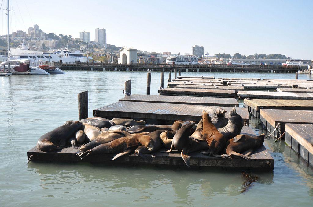 Seelöwen am Pier 39 im Hafen von San Francisco