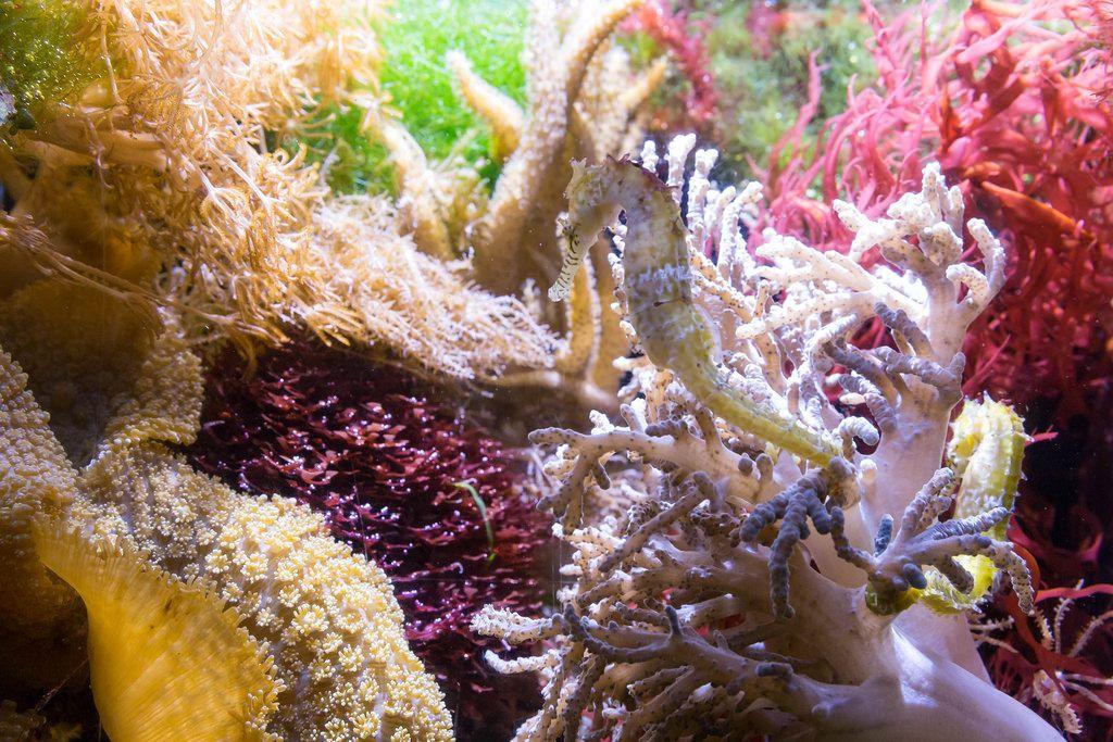 Seepferdchen (genus Hippocampus) zwischen Korallen - Shedd Aquarium, Chicago