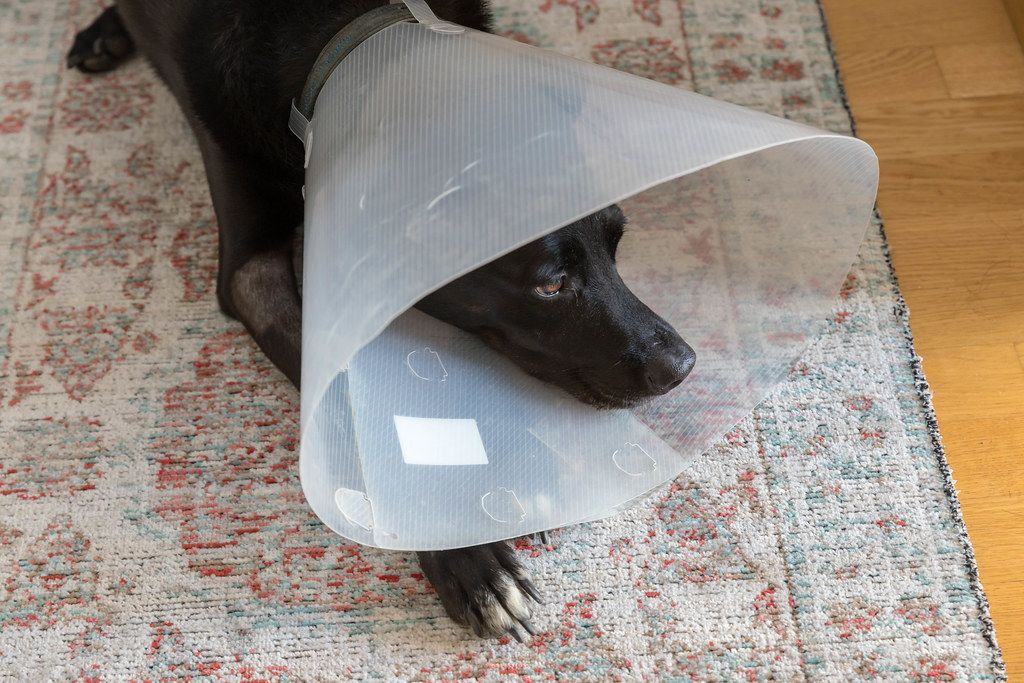Sick dog lies on a rug, with protective collar for leak protection
