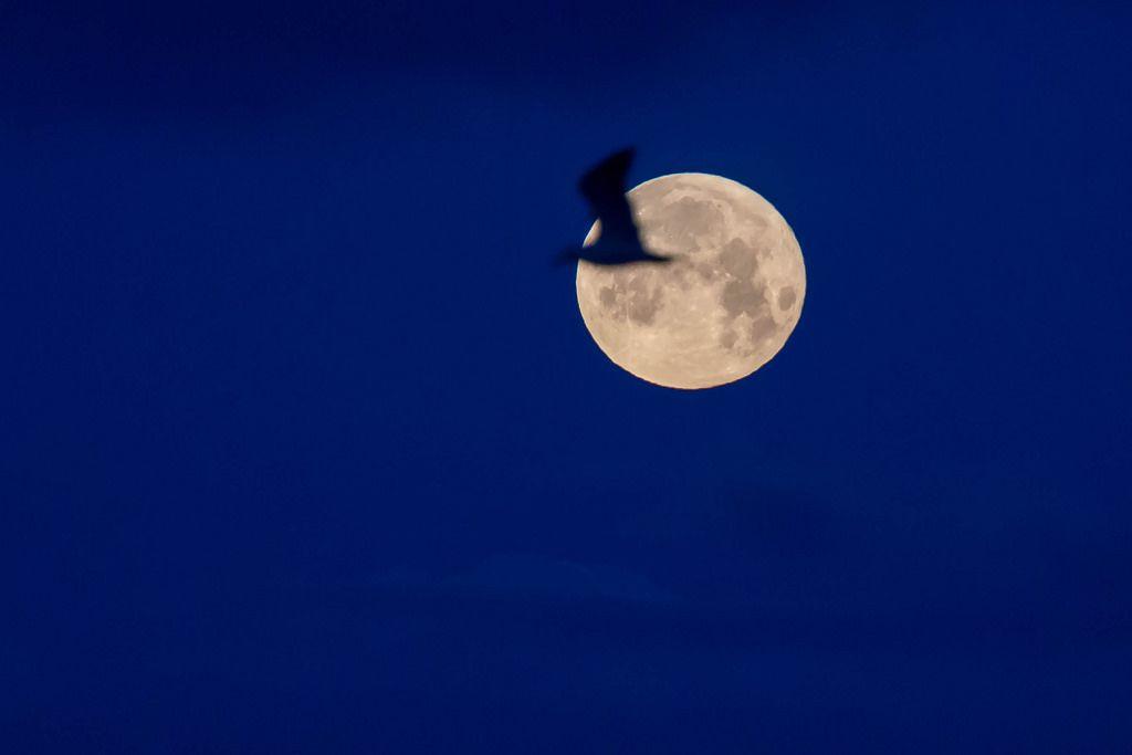 Silhouette eines Vogels vor dem Vollmond