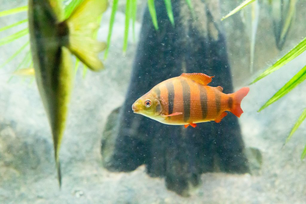 Six-Barred Distichodus (Distichodus sexfasciatus) at Shedd Aquarium