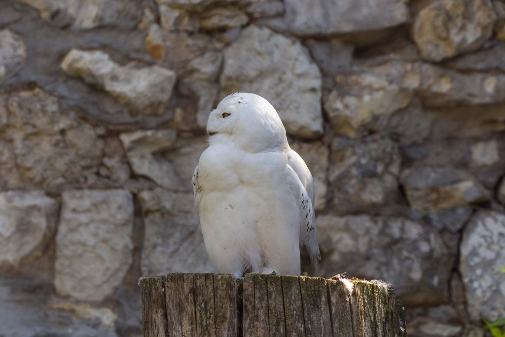Snowy owl in Moscow zoo