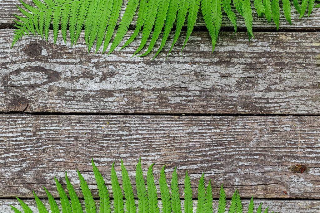 Sommer-Hintergrund auf grauen Brettern, mit grünen Farnblättern