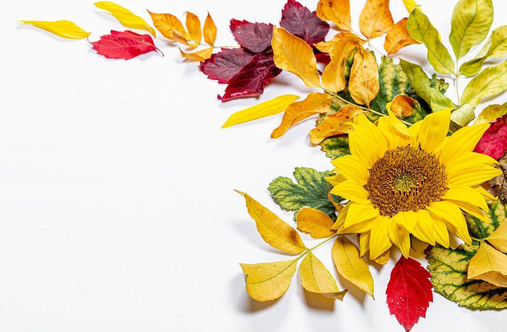 Sonnenblume Und Blätter Auf Weißem Hintergrund Symbolisieren