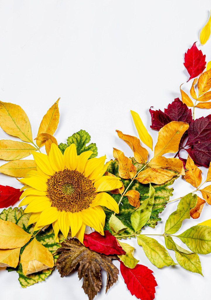Sonnenblume Und Bunte Herbstliche Blätter Auf Weißem