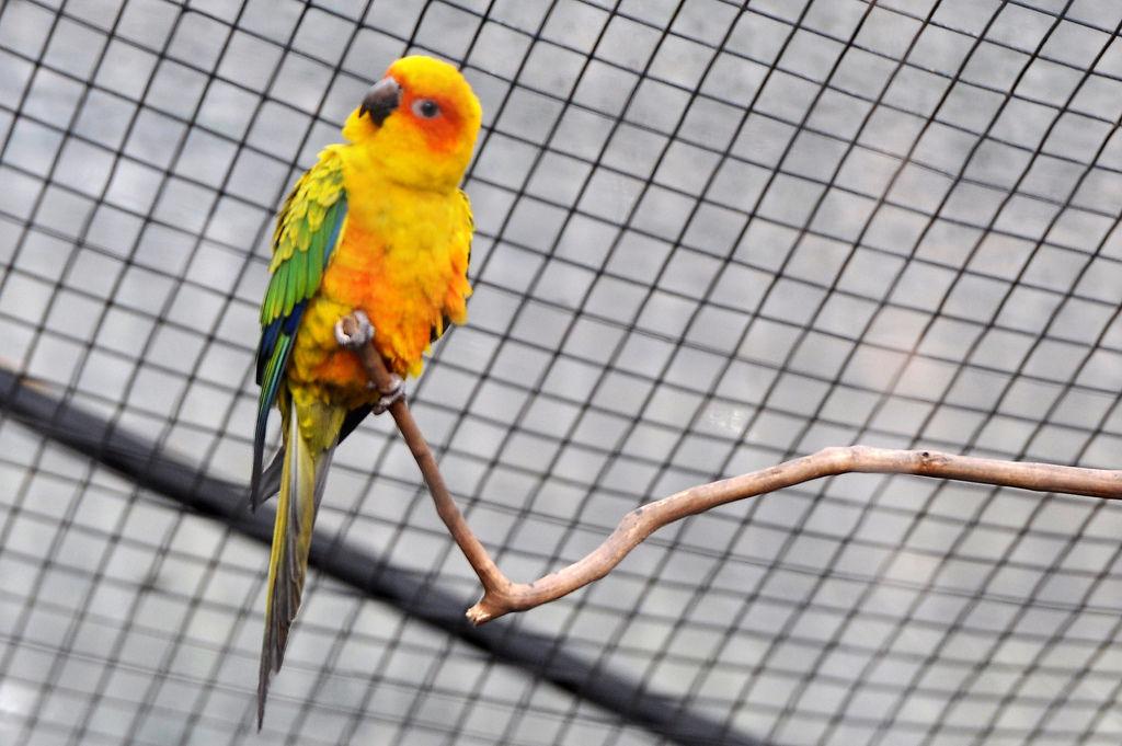 Sonnensittich (Jandaia-amarela) im Vogelpark Parque das Aves