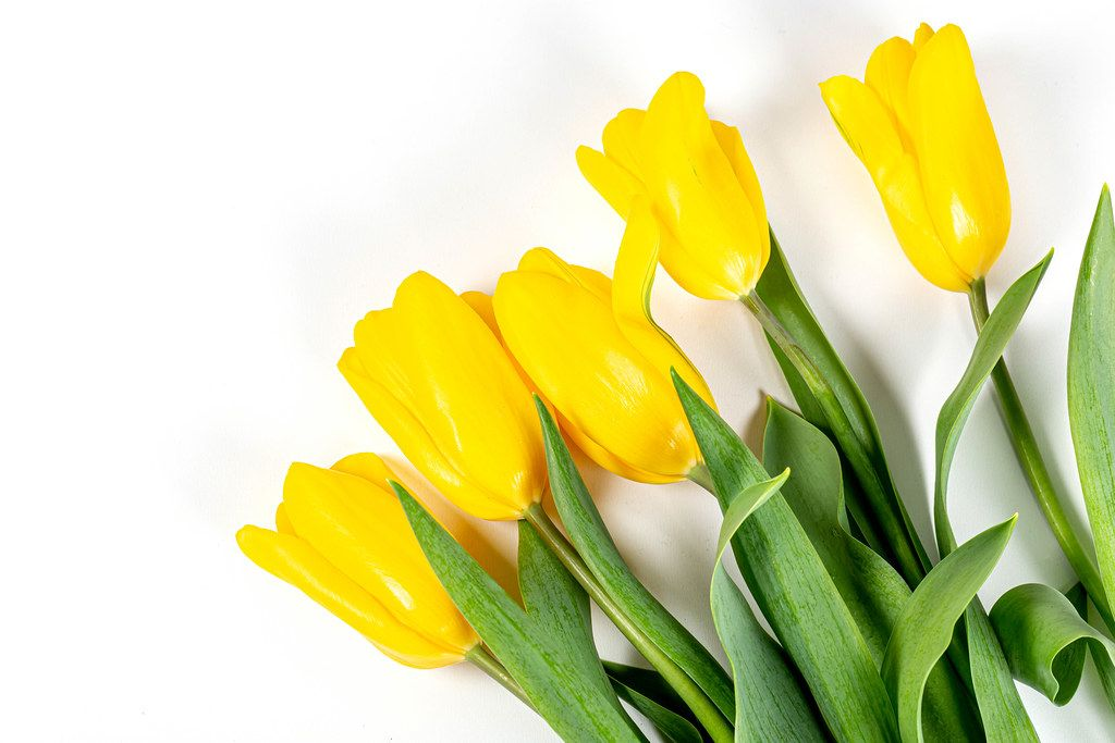 Spring bouquet of yellow tulips. Happy Mother's Day, Happy Easter or Happy Birthday