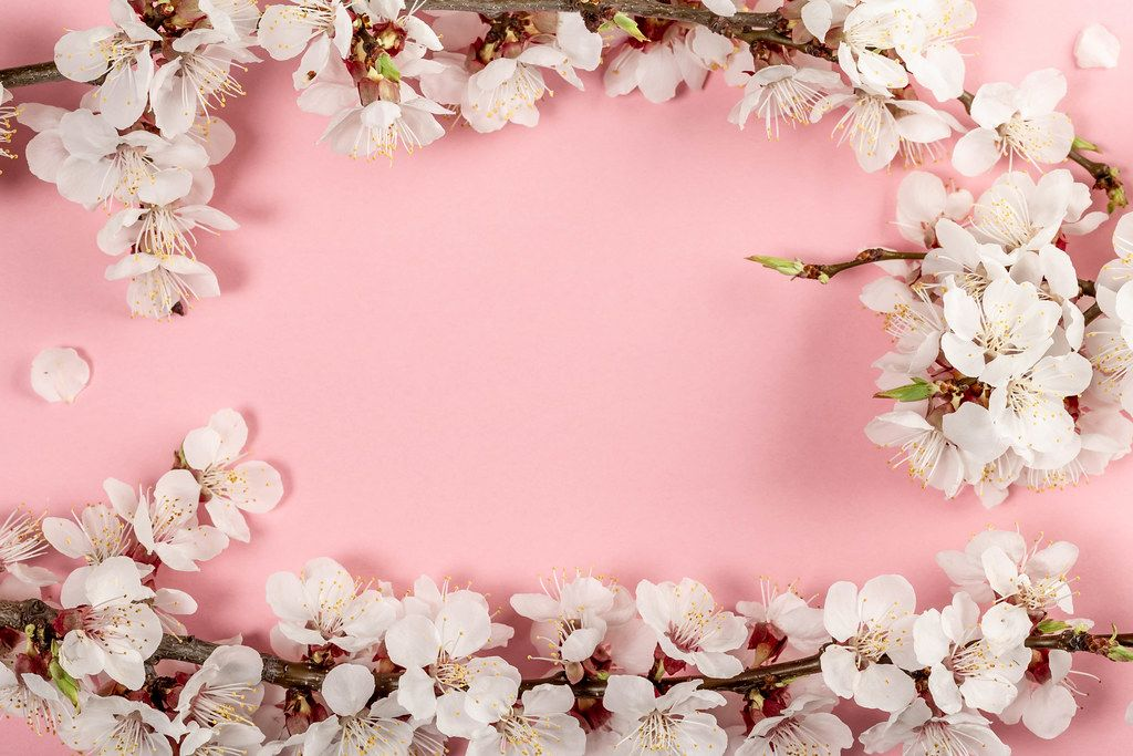 Spring pink background with flowering apricot branches (Flip 2019)