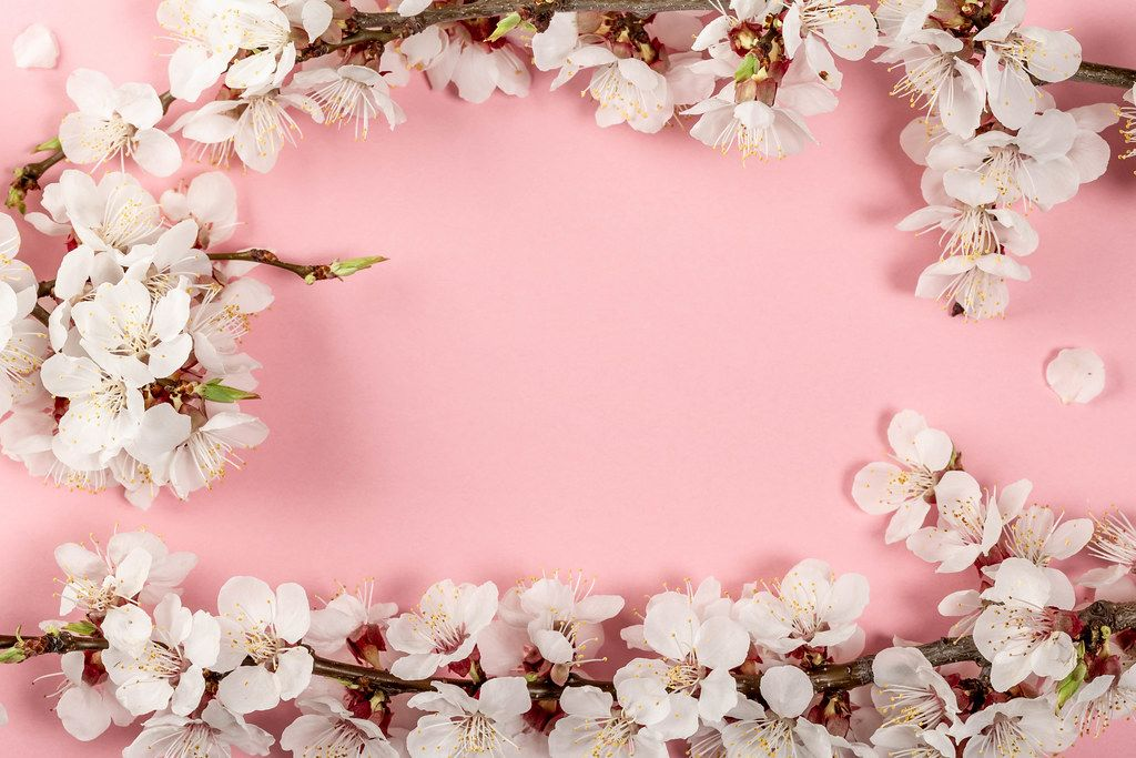 Spring pink background with flowering apricot branches