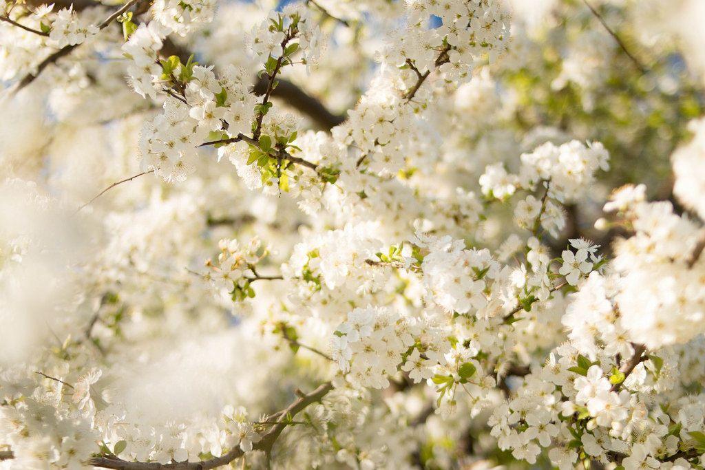 Spring Trees / Kirschblüten