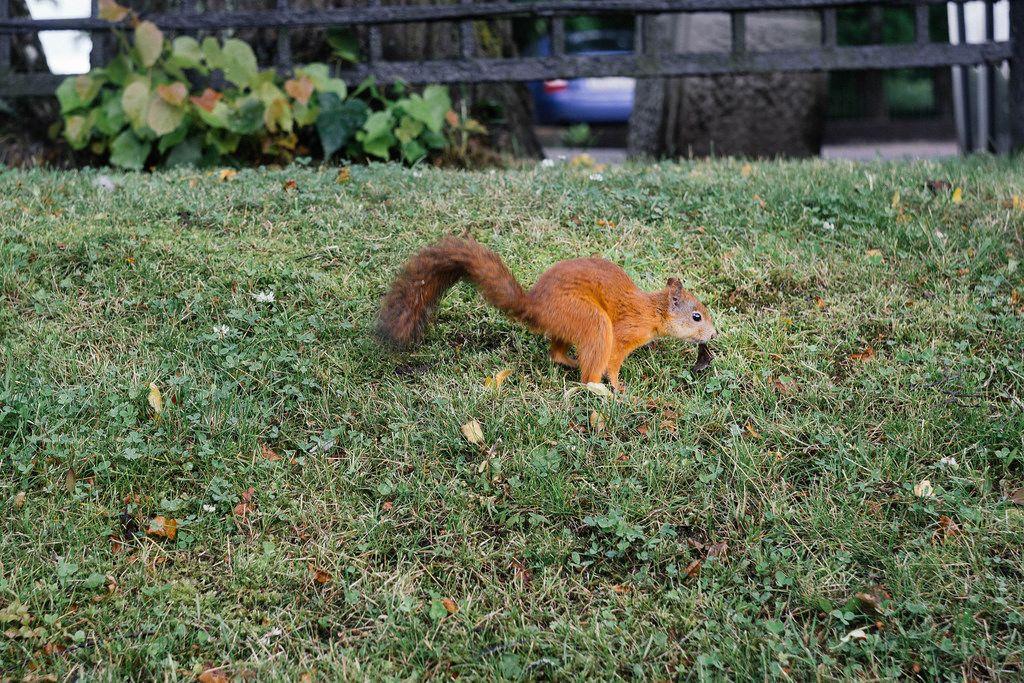 Squarrel in Russian park / Eichhörnchen im russischen Park