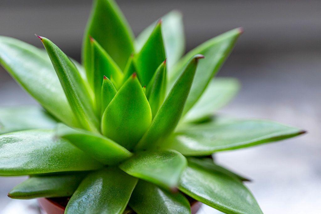 Succulent Echeveria - houseplant close-up