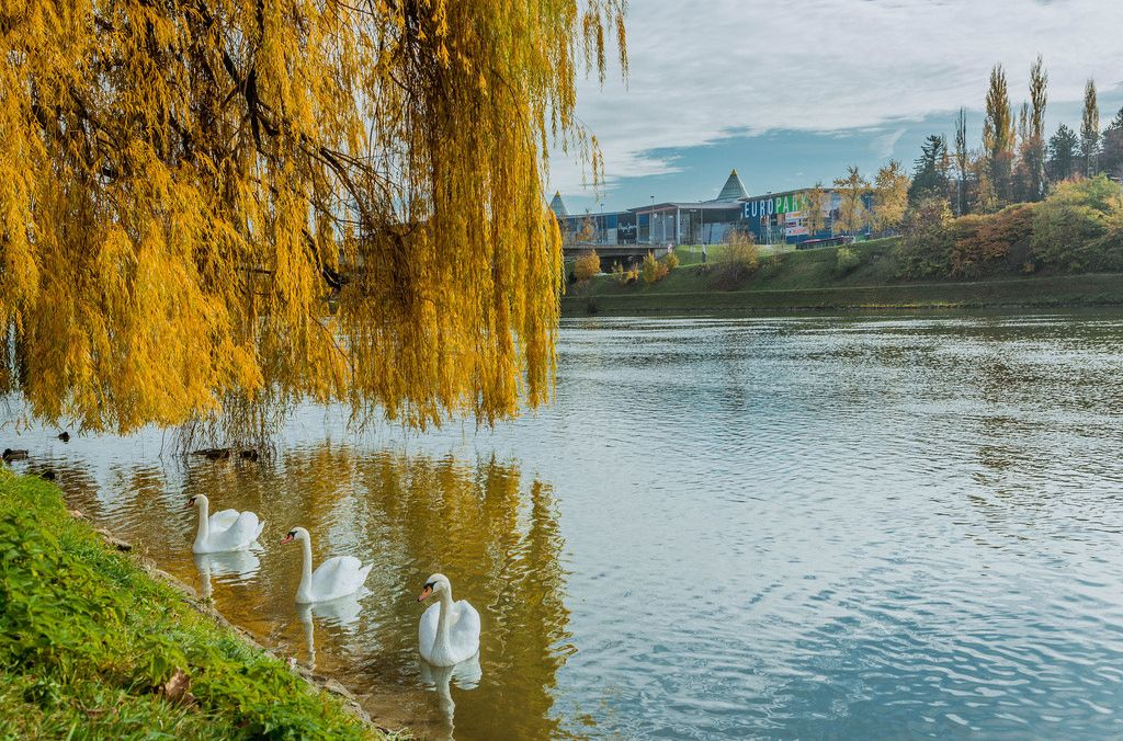 Swans in Drava river