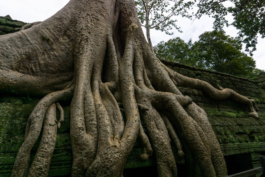 Ta Prohm Tempelruinen überwuchsen mit Tetrameles nudiflora