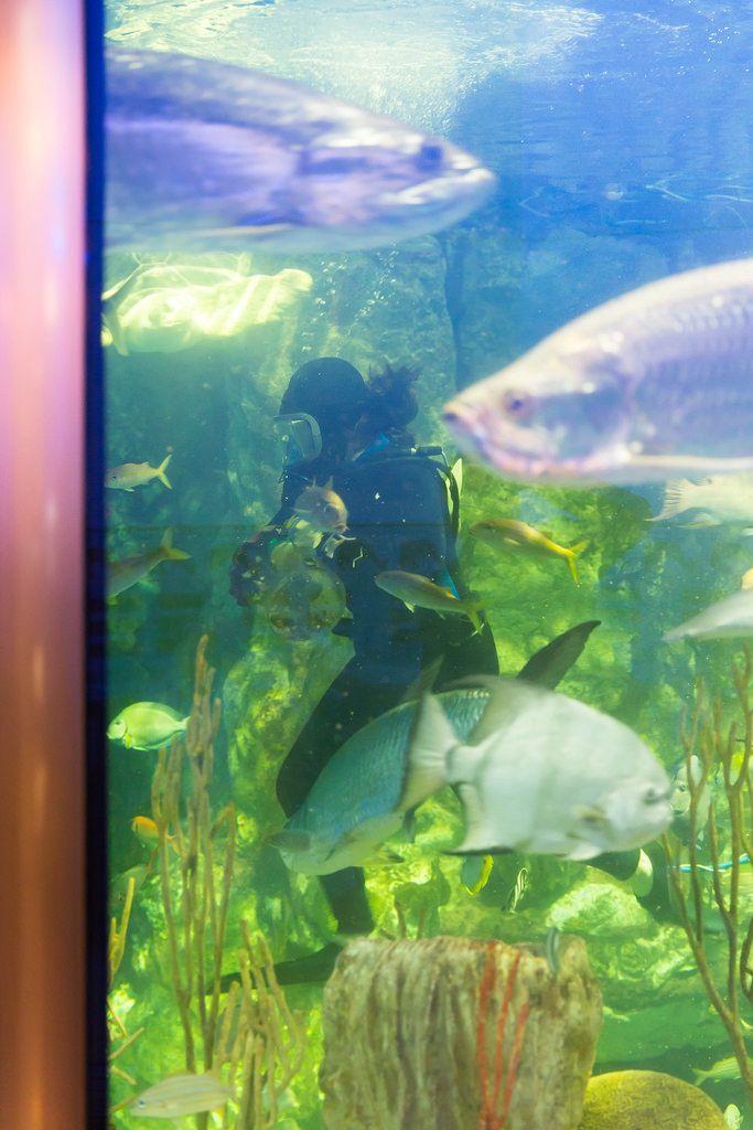 Taucherin putzt das Glas im Aquarium - Shedd Aquarium, Chicago