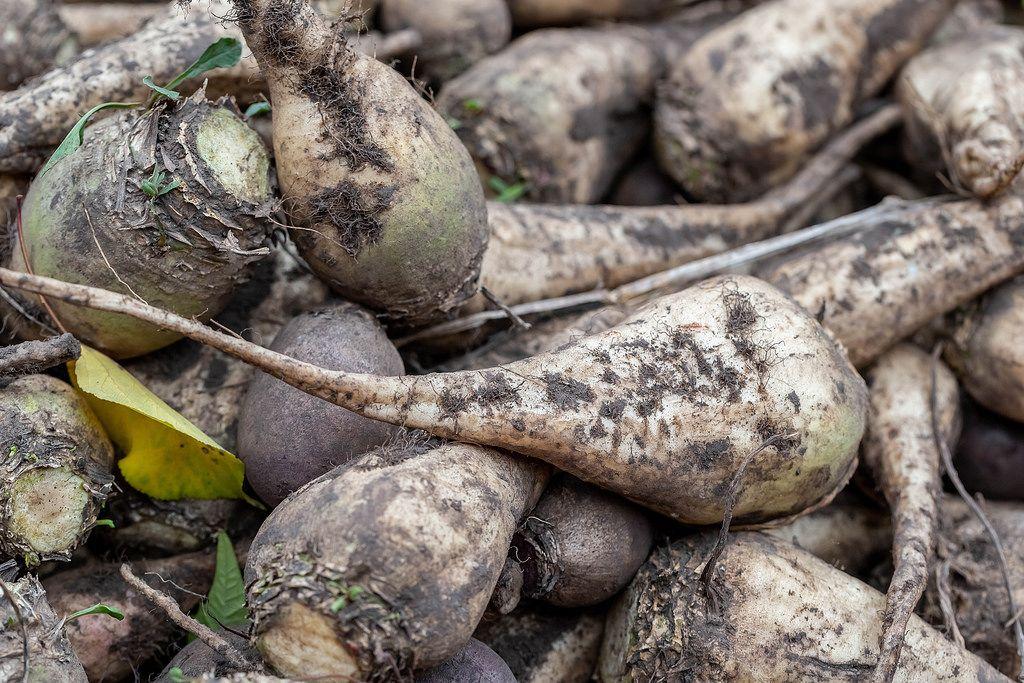 The pile of sugar beet