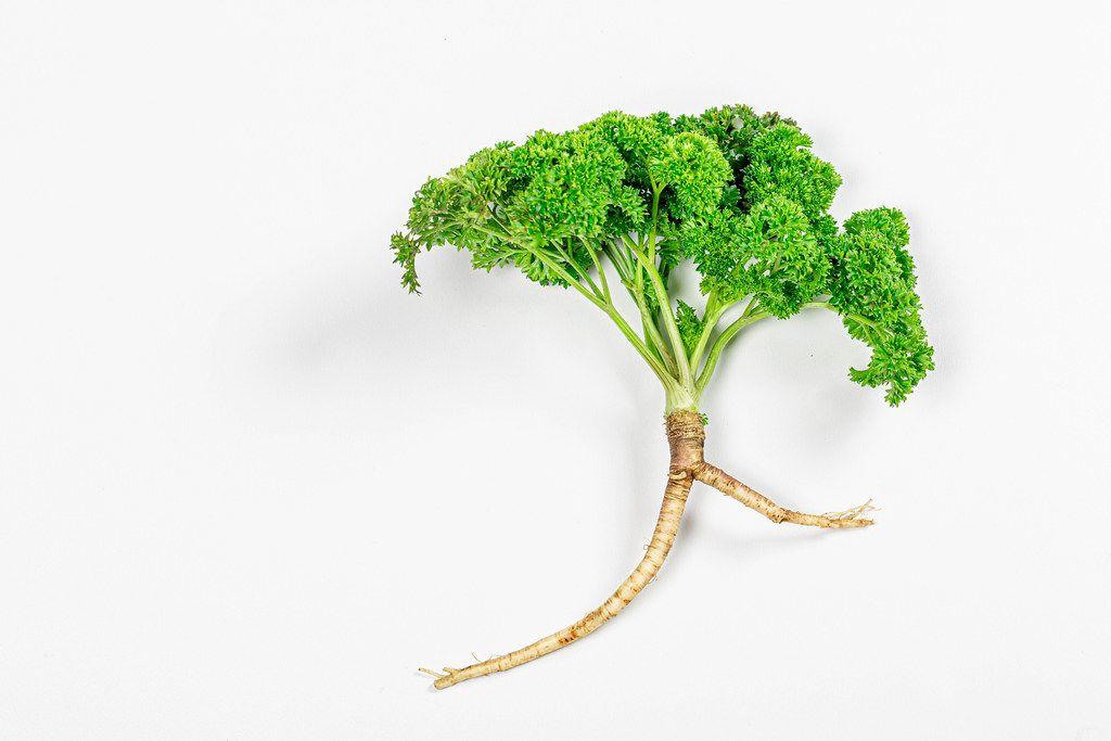 Top view fresh parsley with root on white background