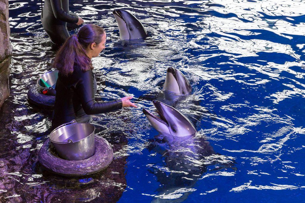 Trainerin füttert ein Weißstreifendelfin im Shedd Aquarium