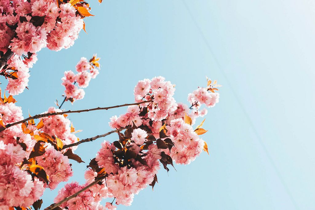 Trees with pink blooming flowers. Spring landscape.