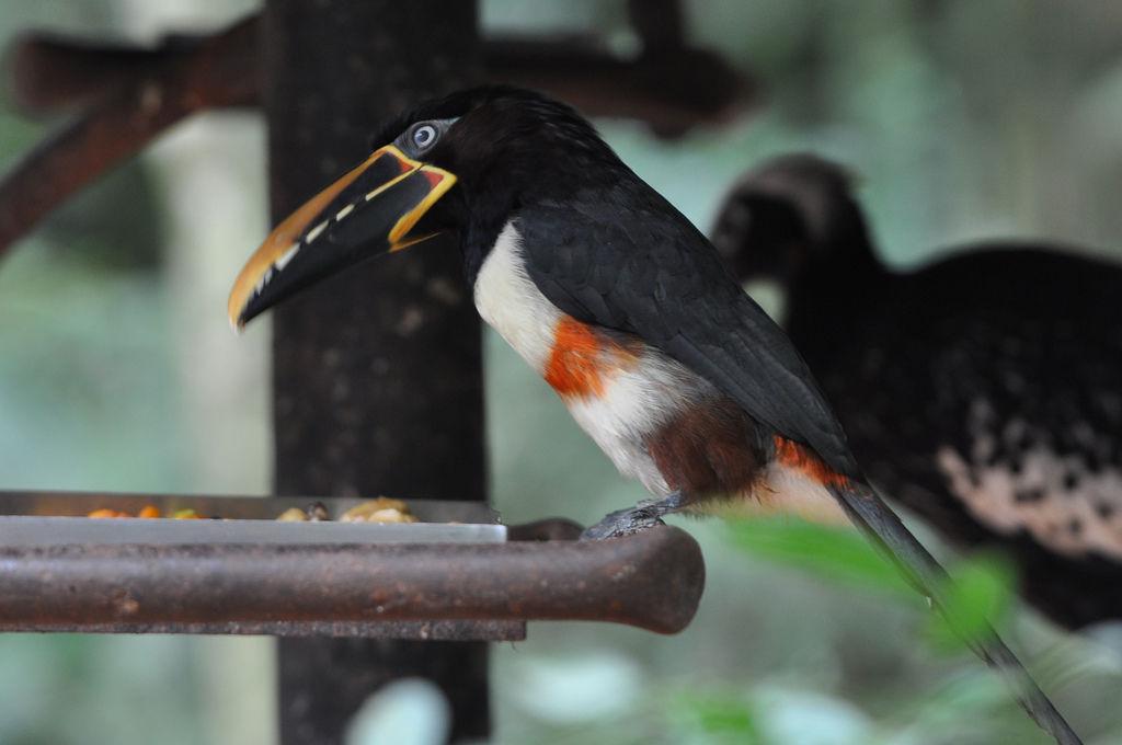 Tukan im Vogelpark Parque das Aves in Iguazu