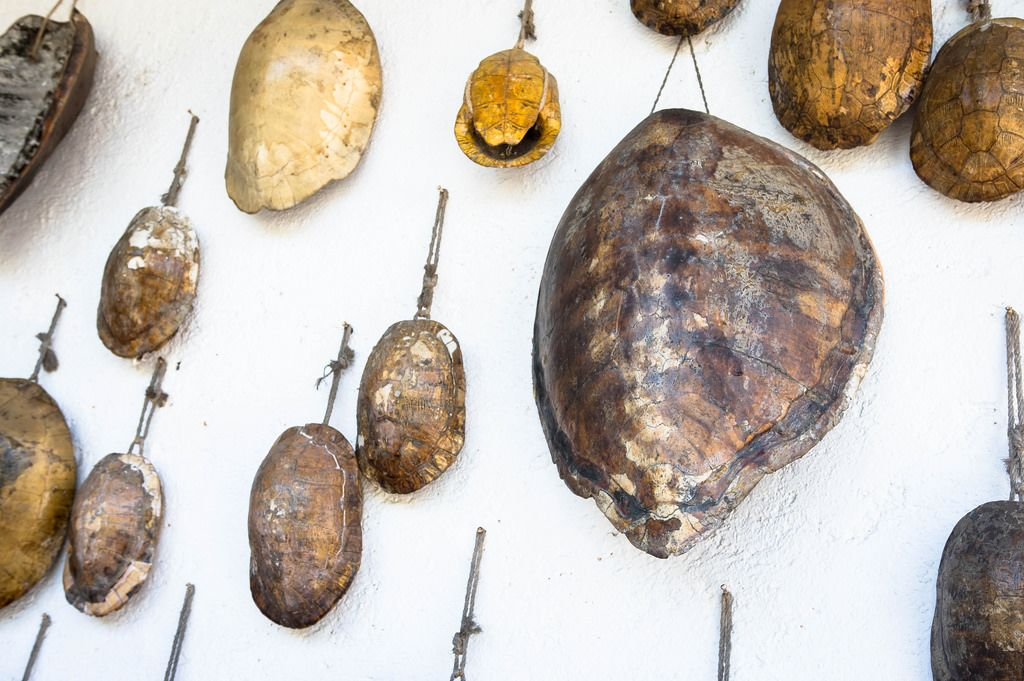 Turtle shells hanging on wall