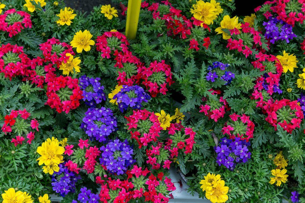 Tweety Pop Sommerblumen