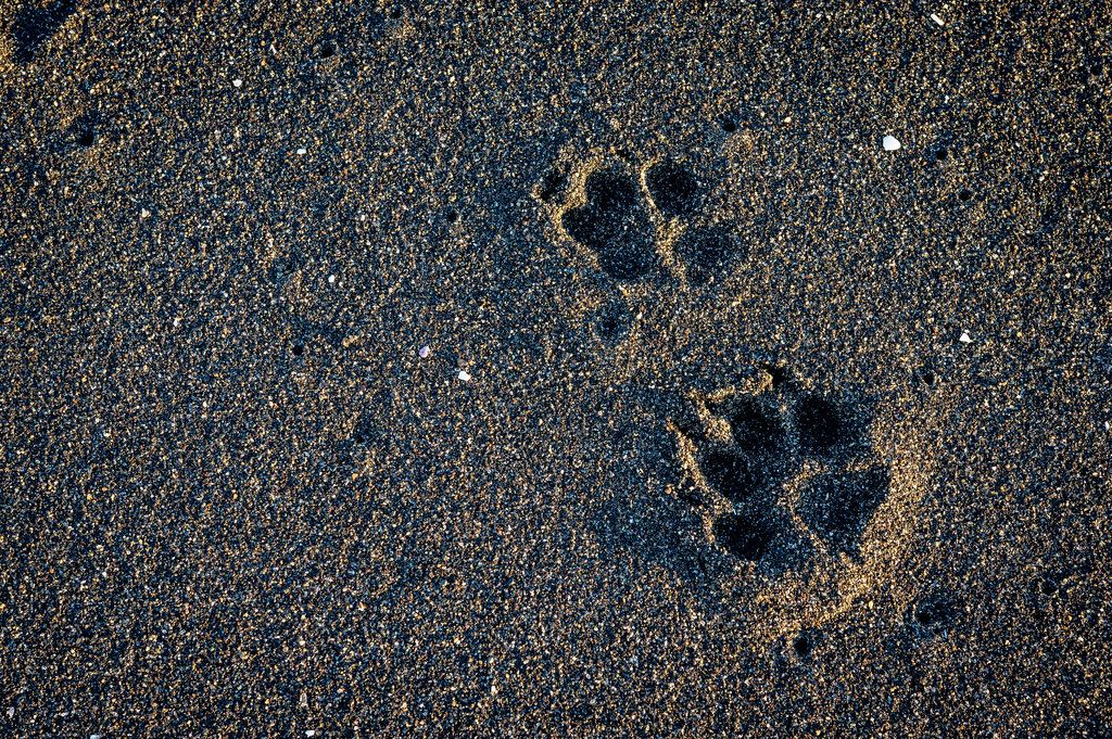 Two dog footprints on black sand