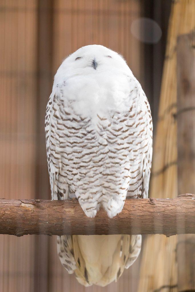 Ural Owl / Uraleule