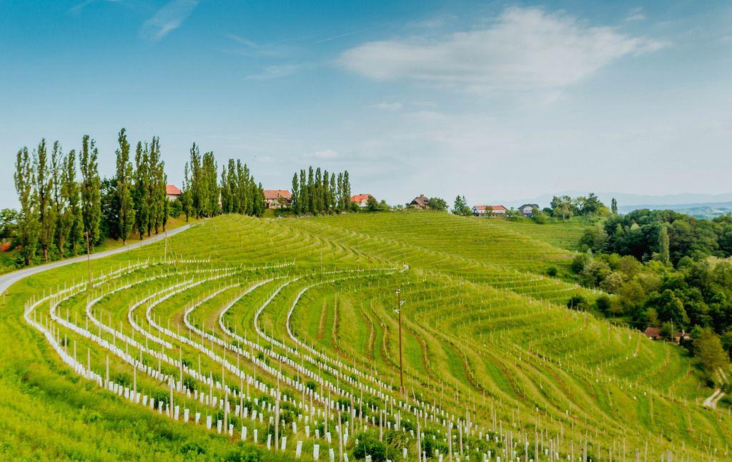 Vineyards in Ljutomer