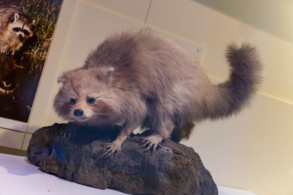 Waschbär  / Common raccoon