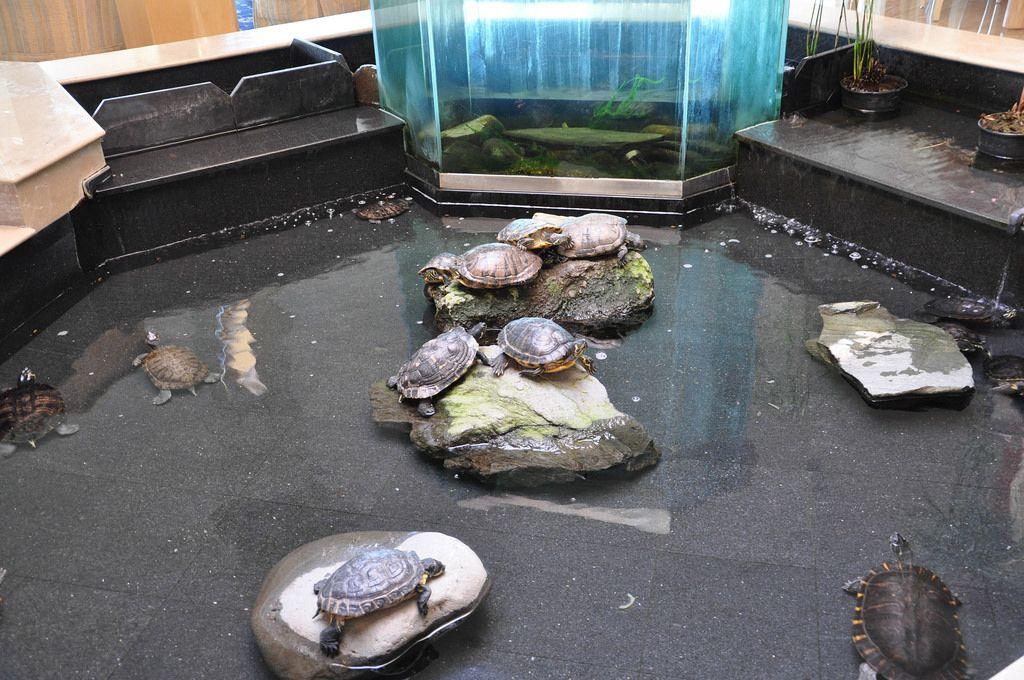 Wasserschildkröten in einem Innenteich