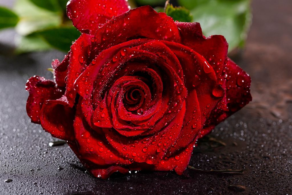 Water droplets on red rose