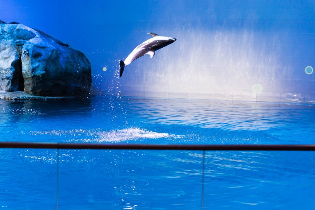 Weißstreifendelfin springt aus dem Wasser - Shedd Aquarium, Chicago