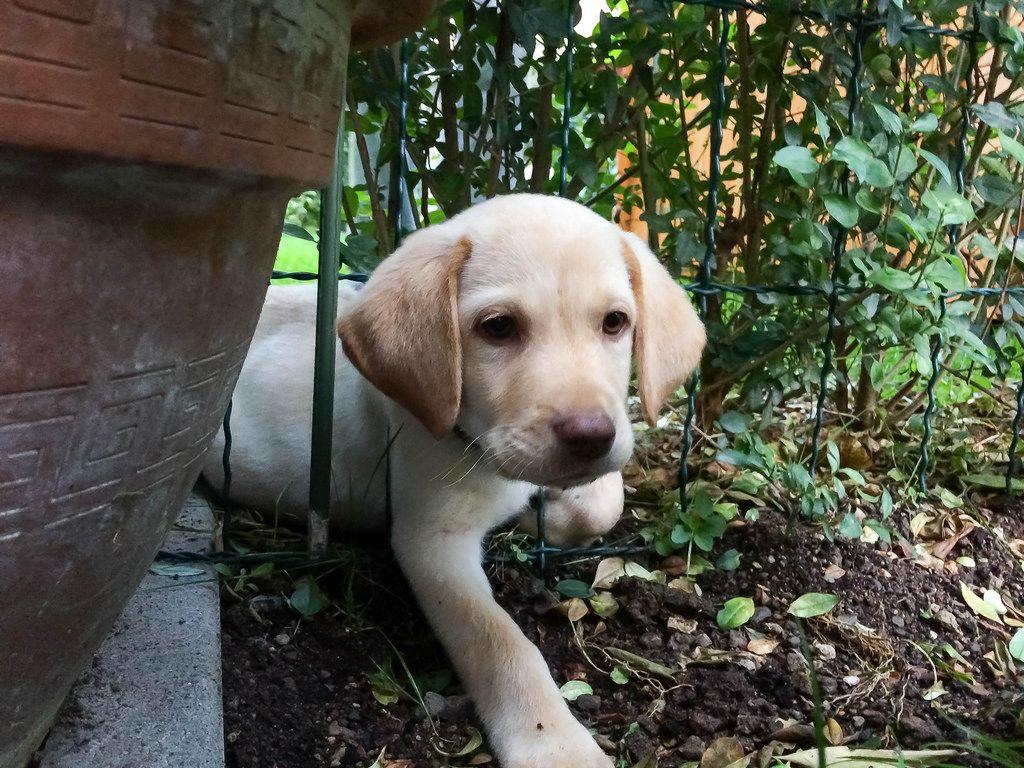 Welpe gefangen im Gartenzaun