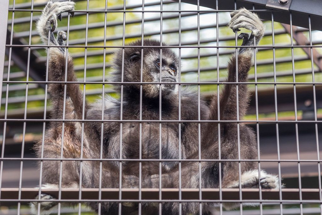 White-handed Gibbon / Weißhandgibbon