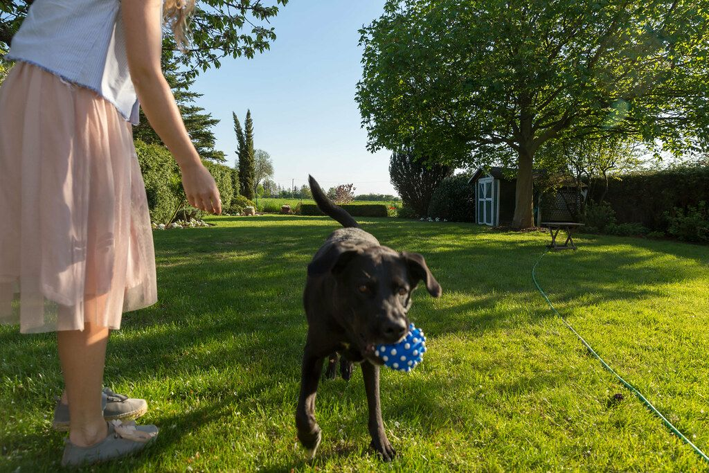 Woman in skirt stands in green grass while playing with a Labrador retriever who takes a blue-white ball in his mouth